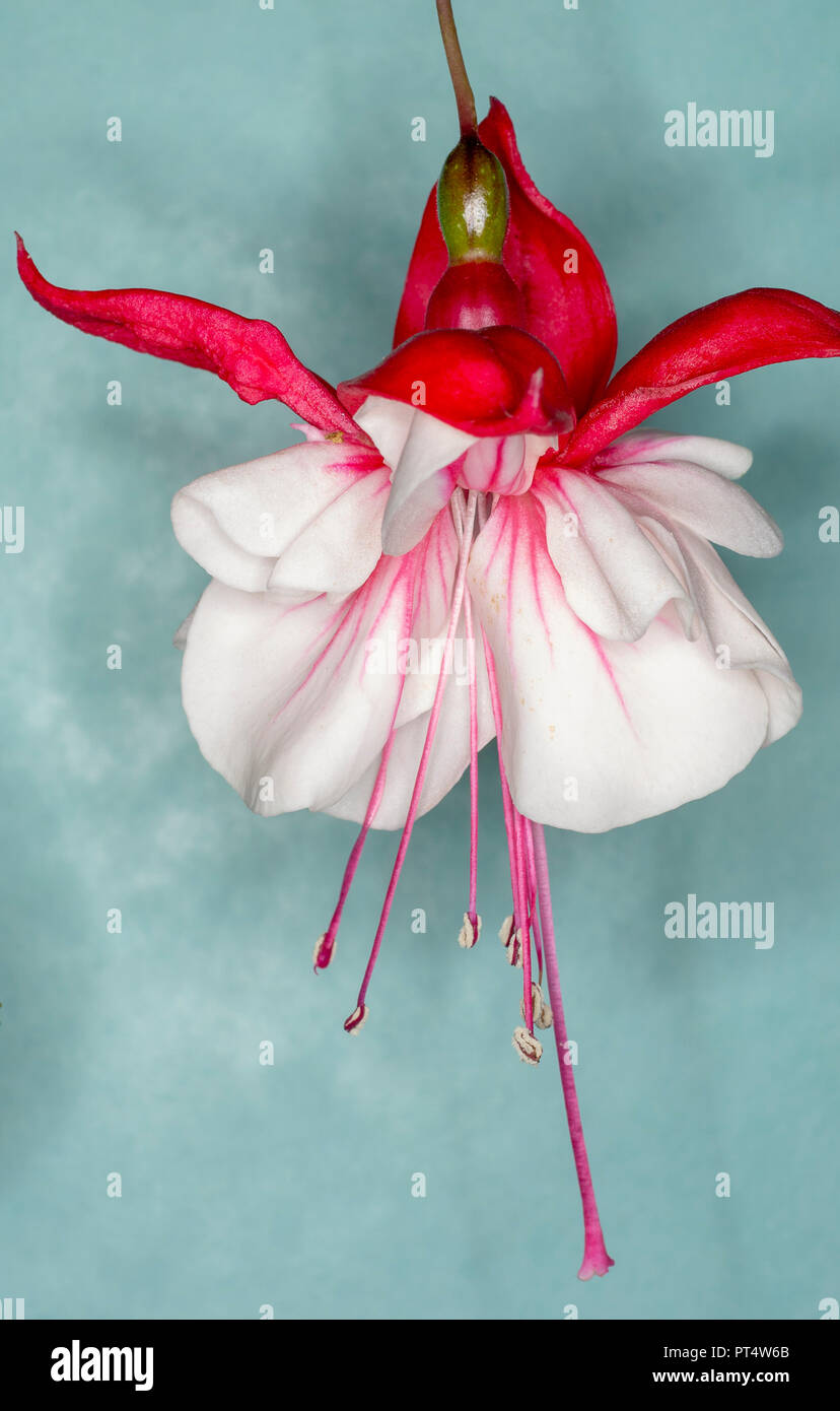 fuchsia swingtime, trailing pink and white flower against a blue/green background - Stock Image