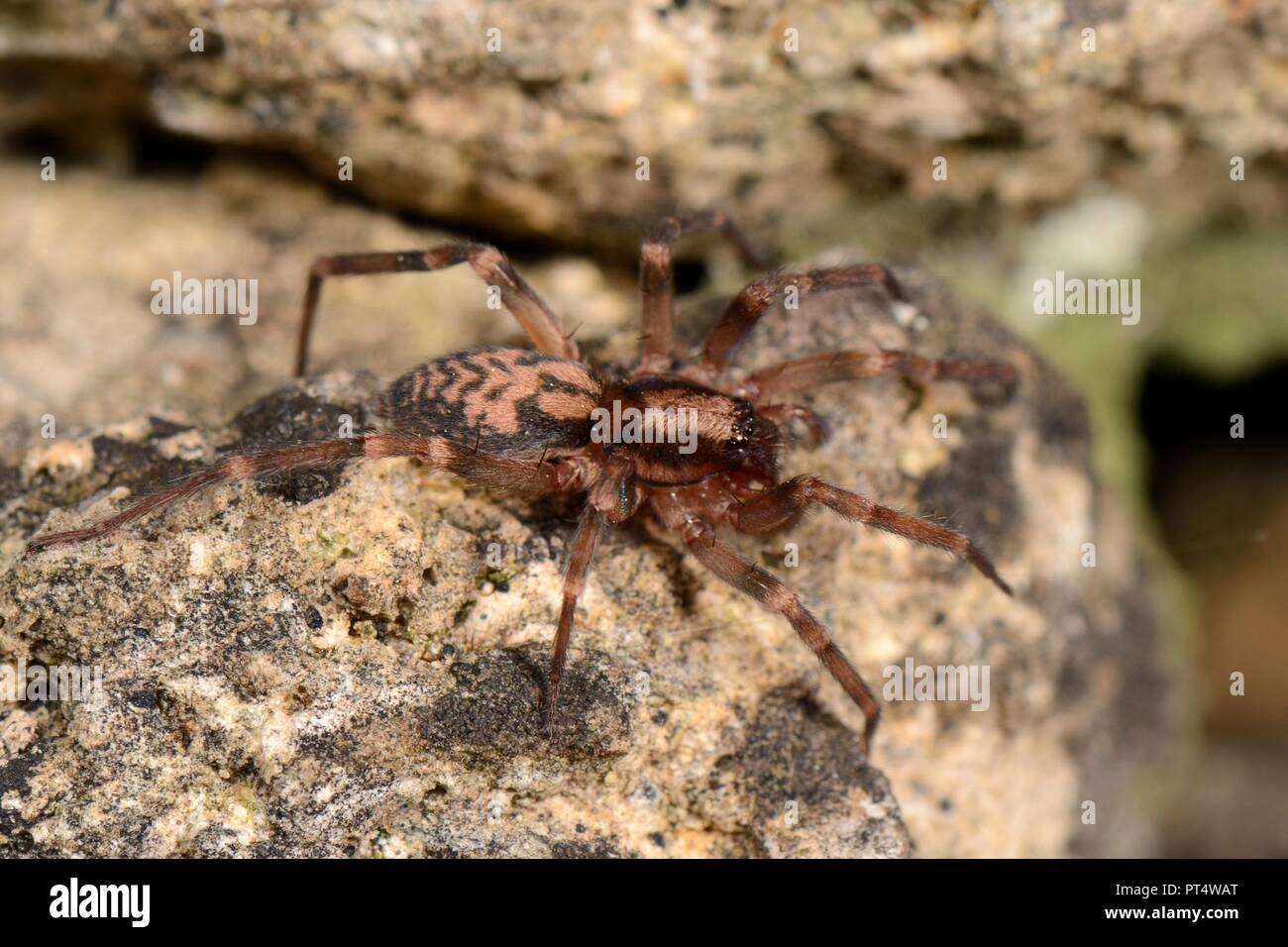 Running foliage spider (Liocranum rupicola), a nationally scarce species in the UK, hunting at night in an old stone wall, Box, Wiltshire, UK, October Stock Photo