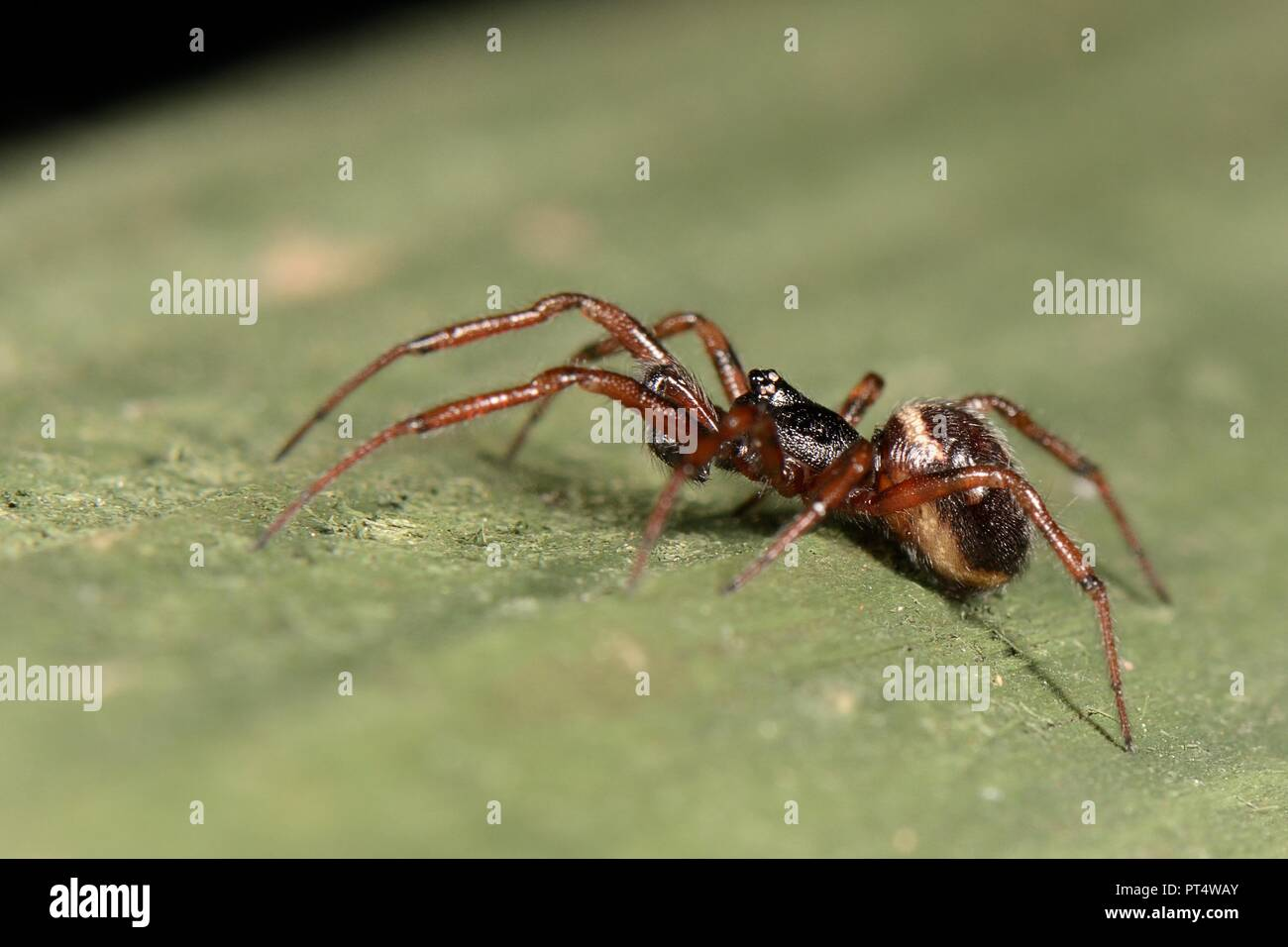 Common false widow / Rabbit hutch spider (Steatoda bipunctata) male, on a garden fence, Wiltshire, UK, October. - Stock Image