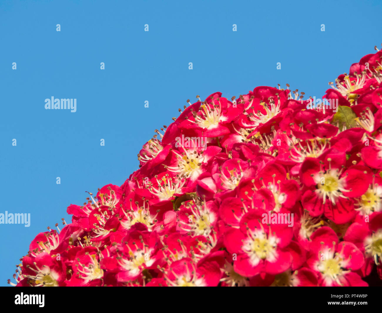 close up of hawthorn tree flowering in spring (cratageus laevigata) 'crimson cloud' variety in a garden in Cardiff, Wales, UK - Stock Image