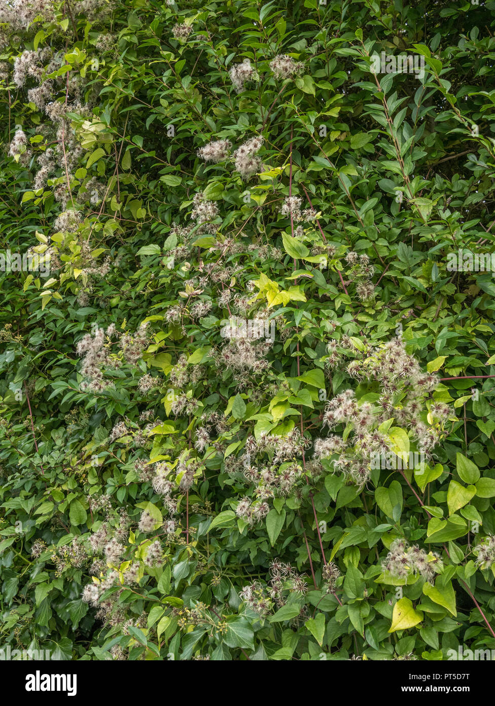Autumnal Travellers Joy / Clematis vitalba - sprawling over a hedgerow. Plumed seeds visible. Parts are used as a medicinal plant in herbal remedies. - Stock Image