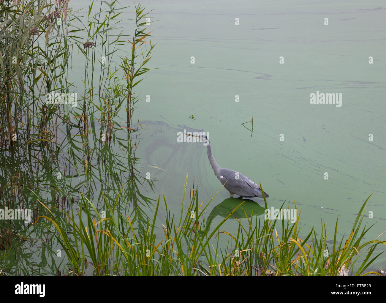 Alert common heron standing concentrated on fishing in Frederiksborg Castle Lake, Hillerød, Denmark, on a foggy autumn day. Ardea cinerea. Green algae Stock Photo