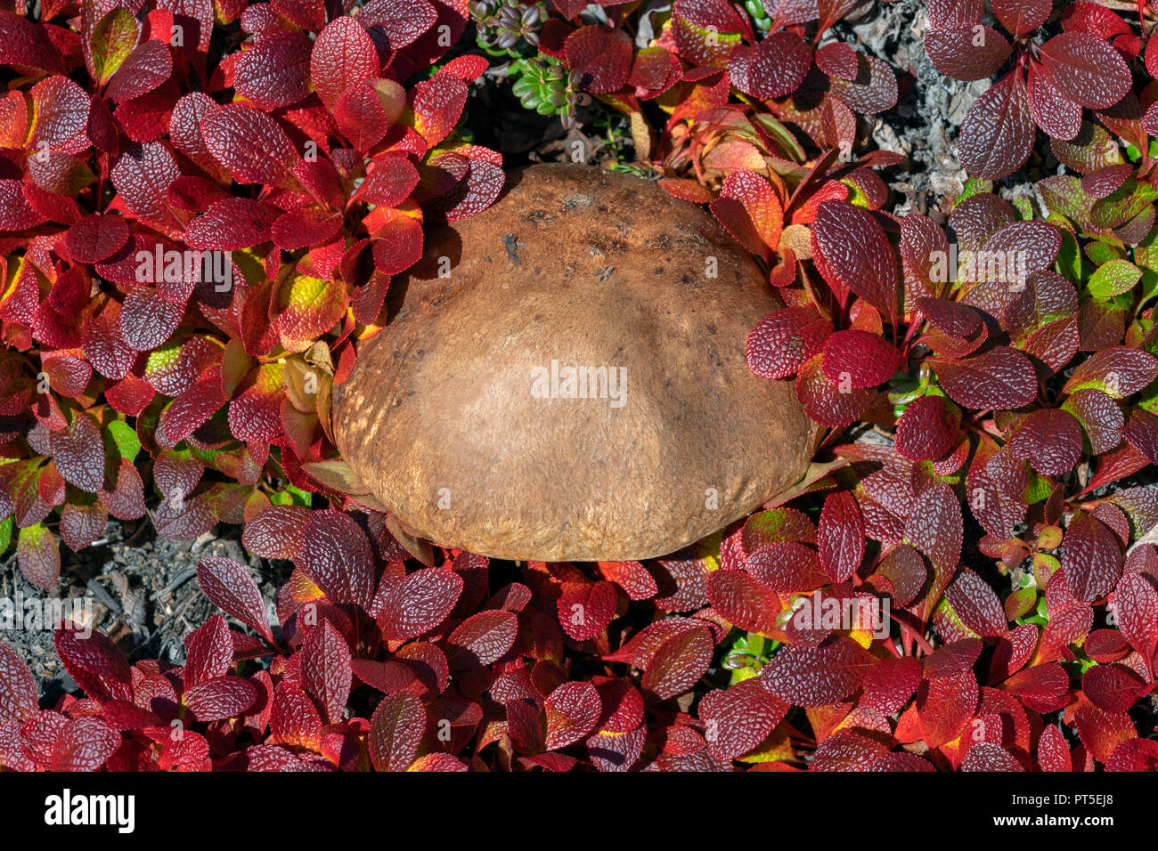 Growing wild edible mushroom Leccinum scabrum surrounded by dark red creeping deciduous shrub Arctostaphylos alpina in autumn dress in sunny weather. Stock Photo