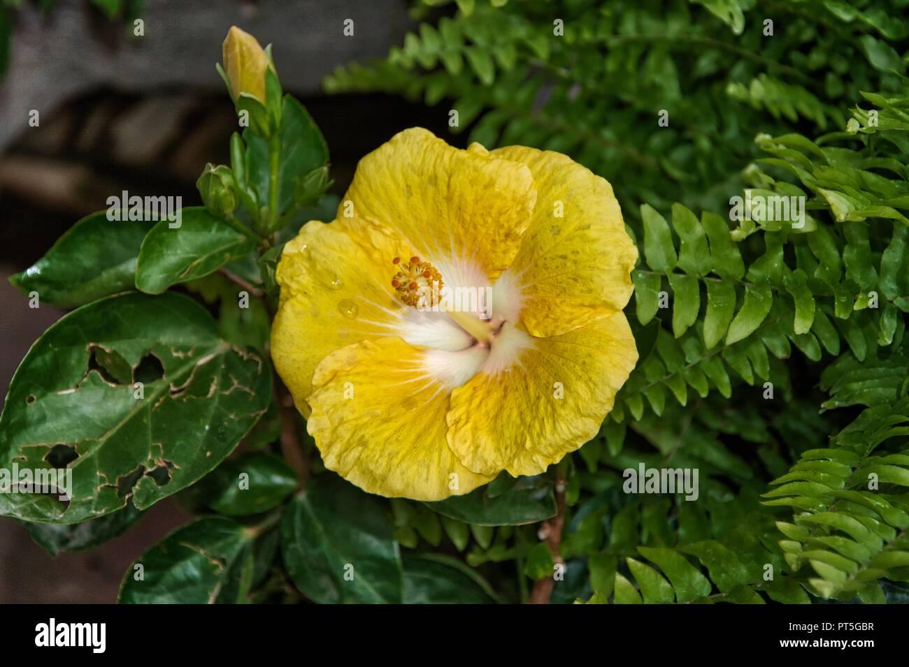 Hibiscus Yellow Flower Stock Photo 221398795 Alamy