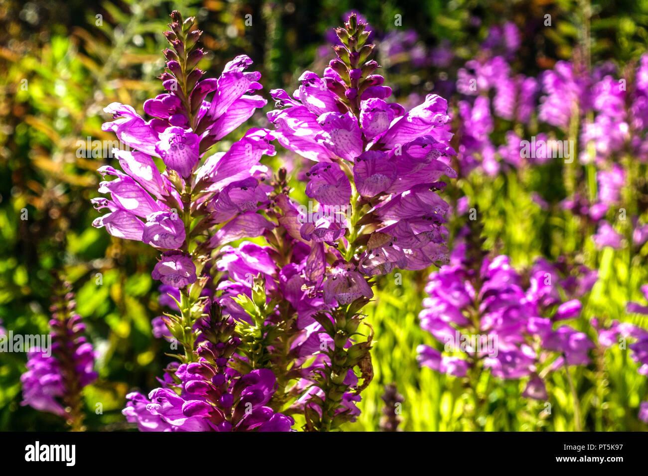 Obedient Plant, Physostegia virginiana 'Bouquet Rose' - Stock Image