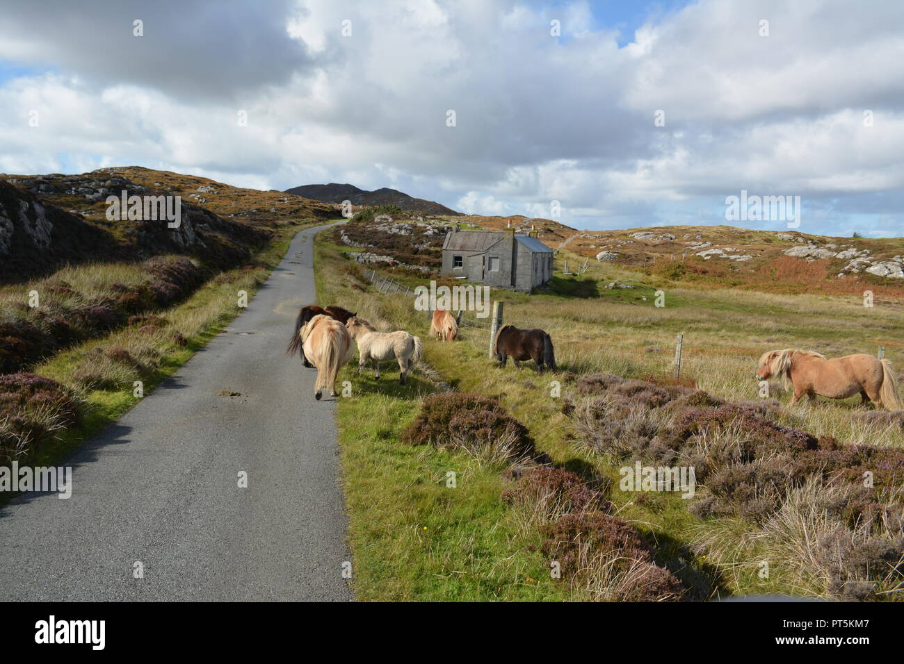 Wild ponies close to remote road on moorland near to Loch Druidibeg National Nature Reserve on South Uist Outer Hebrides Western Isles Scotland UK - Stock Image