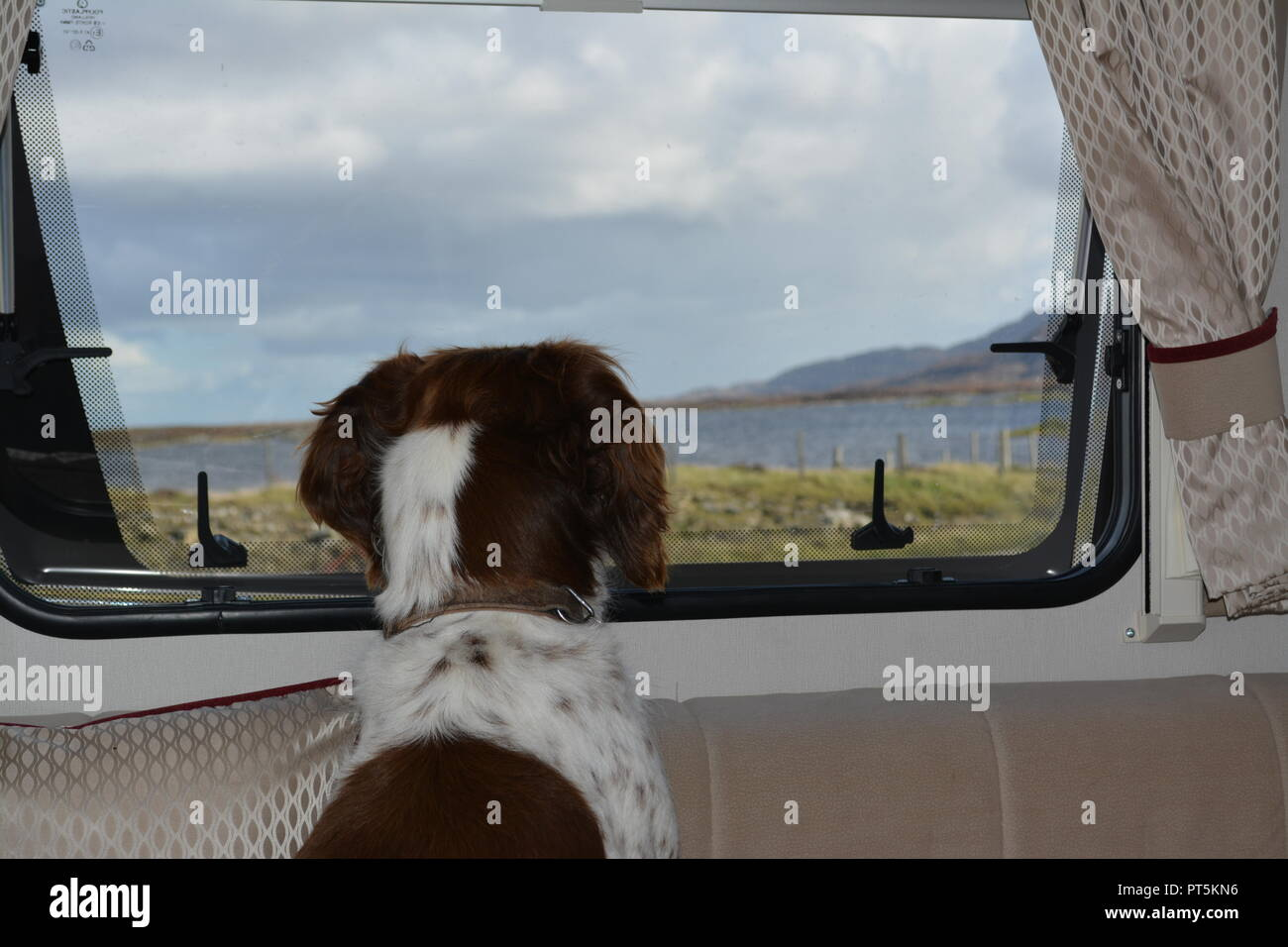 Liver and white English Springer Spaniel sitting and looking out of the window of a motorhome campervan towards a loch in Scotland UK United Kingdom - Stock Image