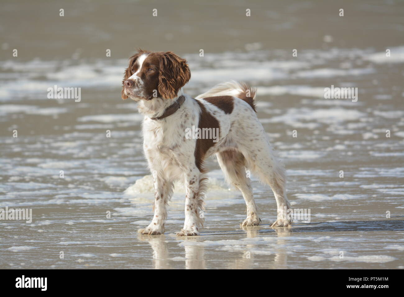Liver and white English Springer Spaniel standing at the edge of the sea looking into the distance on a sandy beach with sea foam re mans best friend - Stock Image