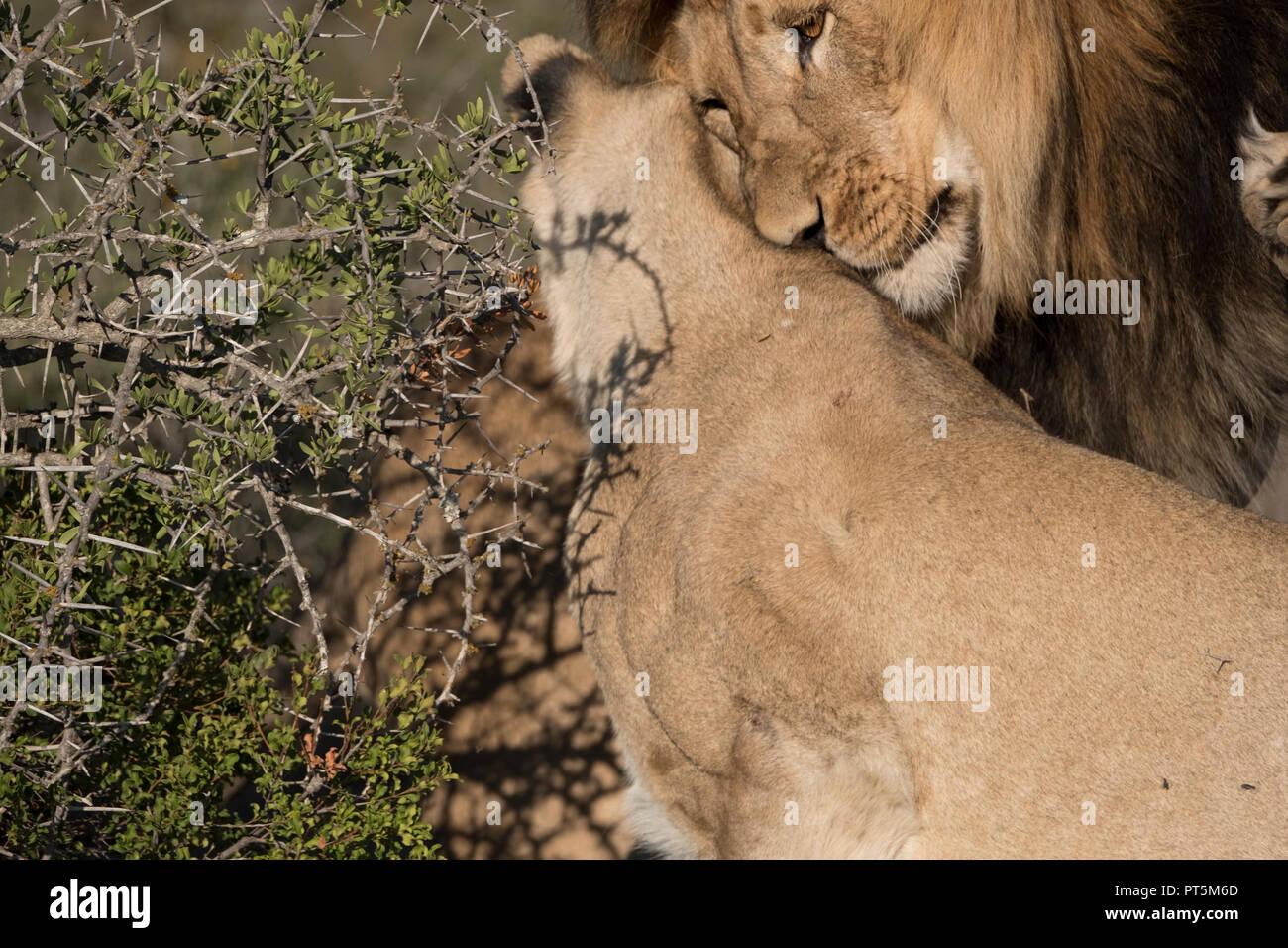 Lion intimacy - close up - Stock Image