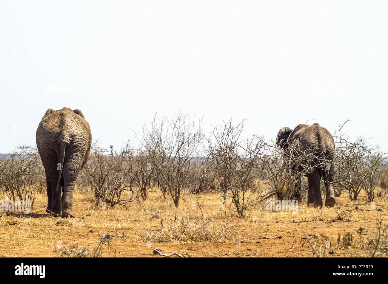 South Africa - Kruger National Park - Big 5 - Stock Image
