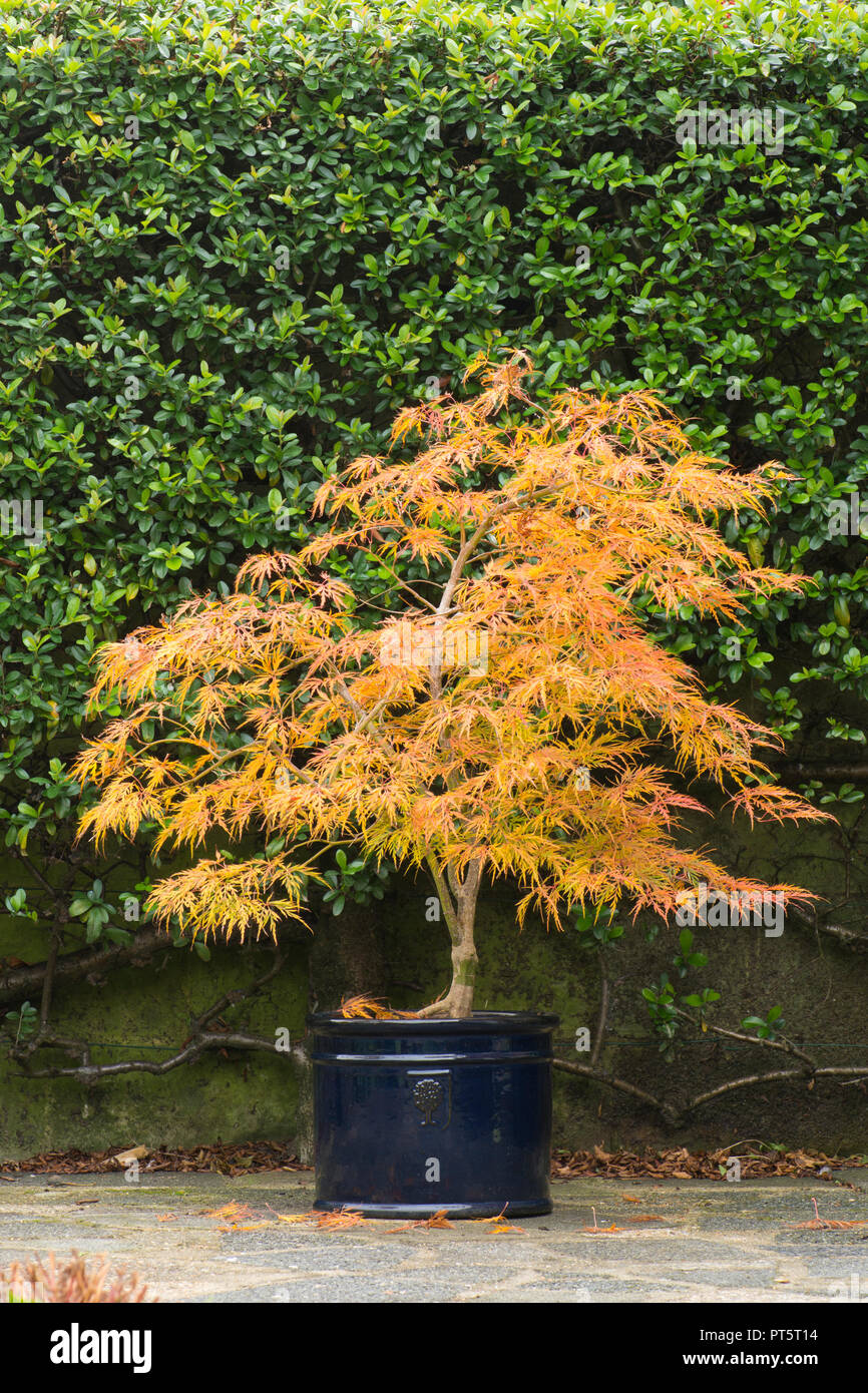 acer palmatum var dissectum viridis in pot autumn fall uk october leaves have turned from green to golden yellow and orange PT5T14