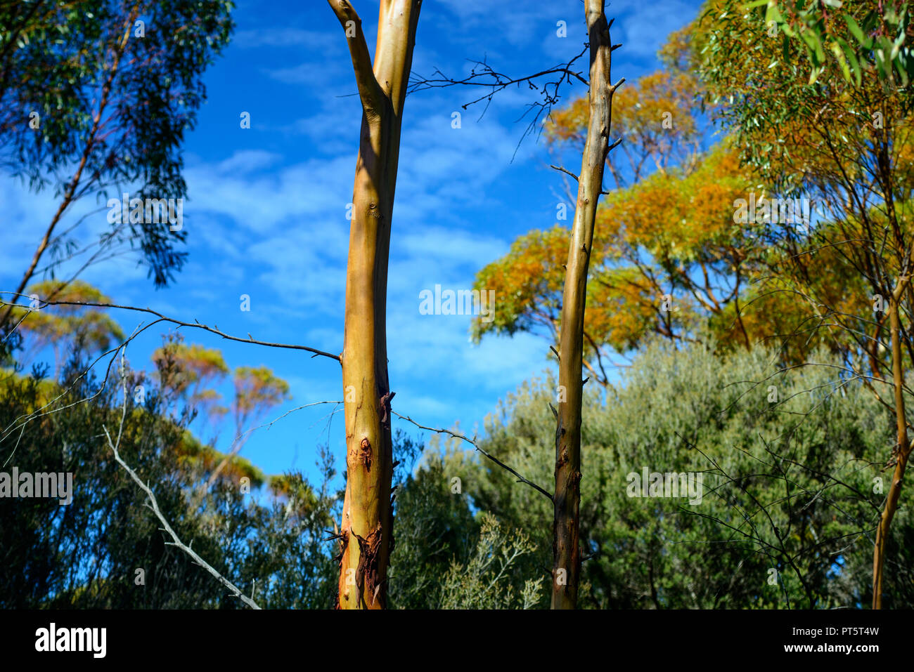 River Red Gum Tree, in a eucalyptus forest, Western Australia - Stock Image