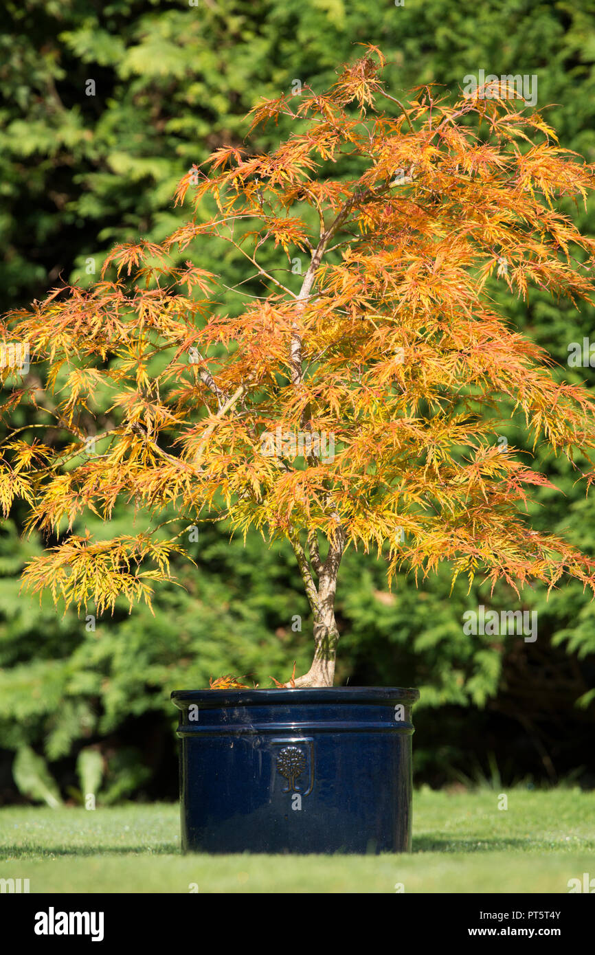 acer palmatum var dissectum viridis in pot autumn fall uk october leaves have turned from green to golden yellow and orange PT5T4Y