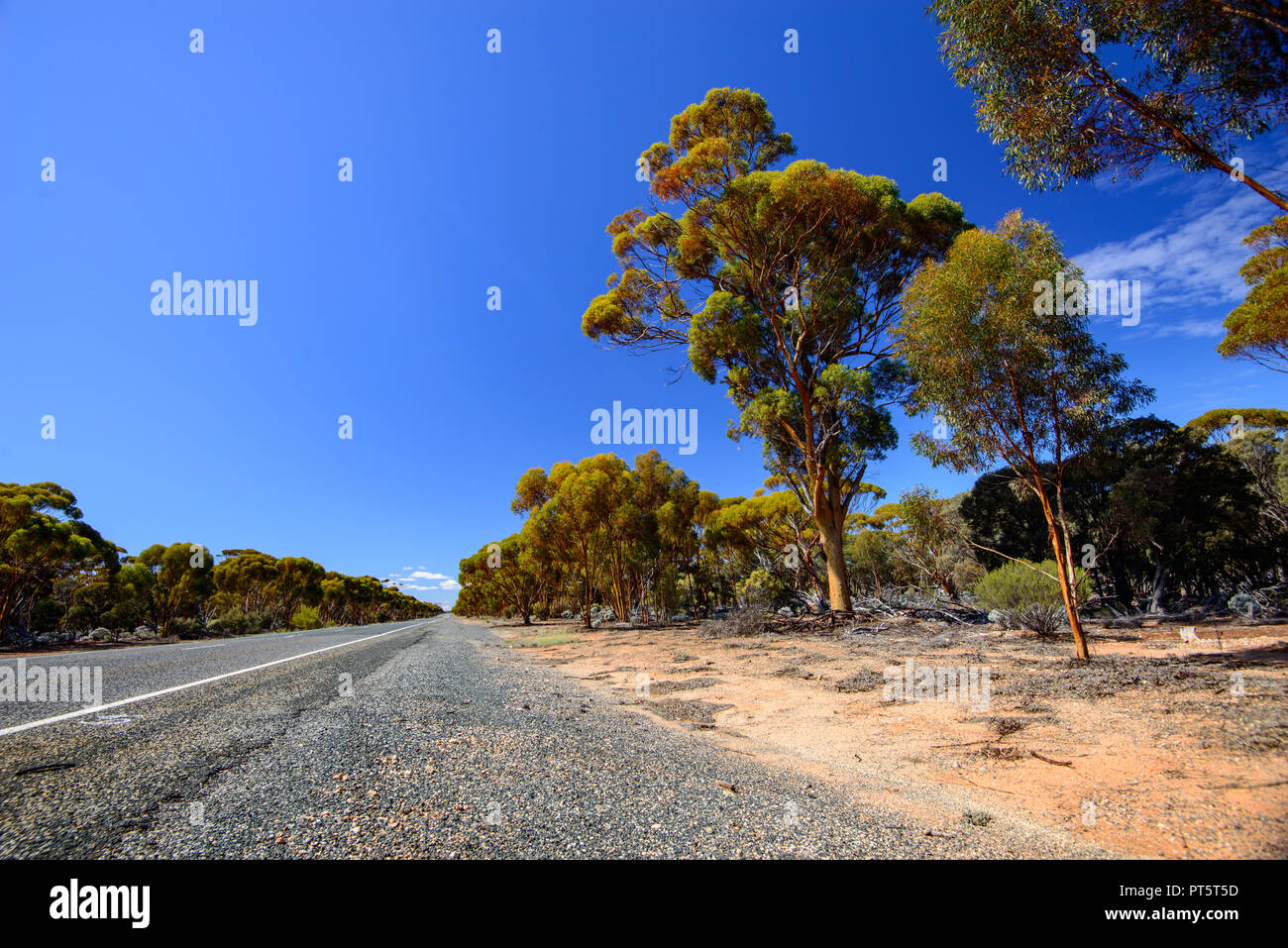 Highway leading through an eucalyptus forest, Western Australia, Australia - Stock Image