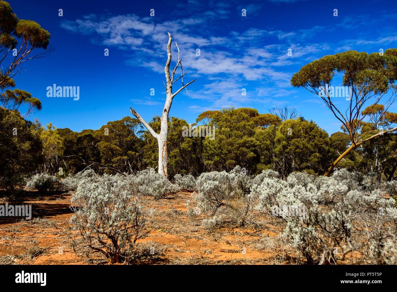 white trunk of a dead Gum tree surrounded by bright Silver Ball bushes and an eucalyptus forest. - Stock Image