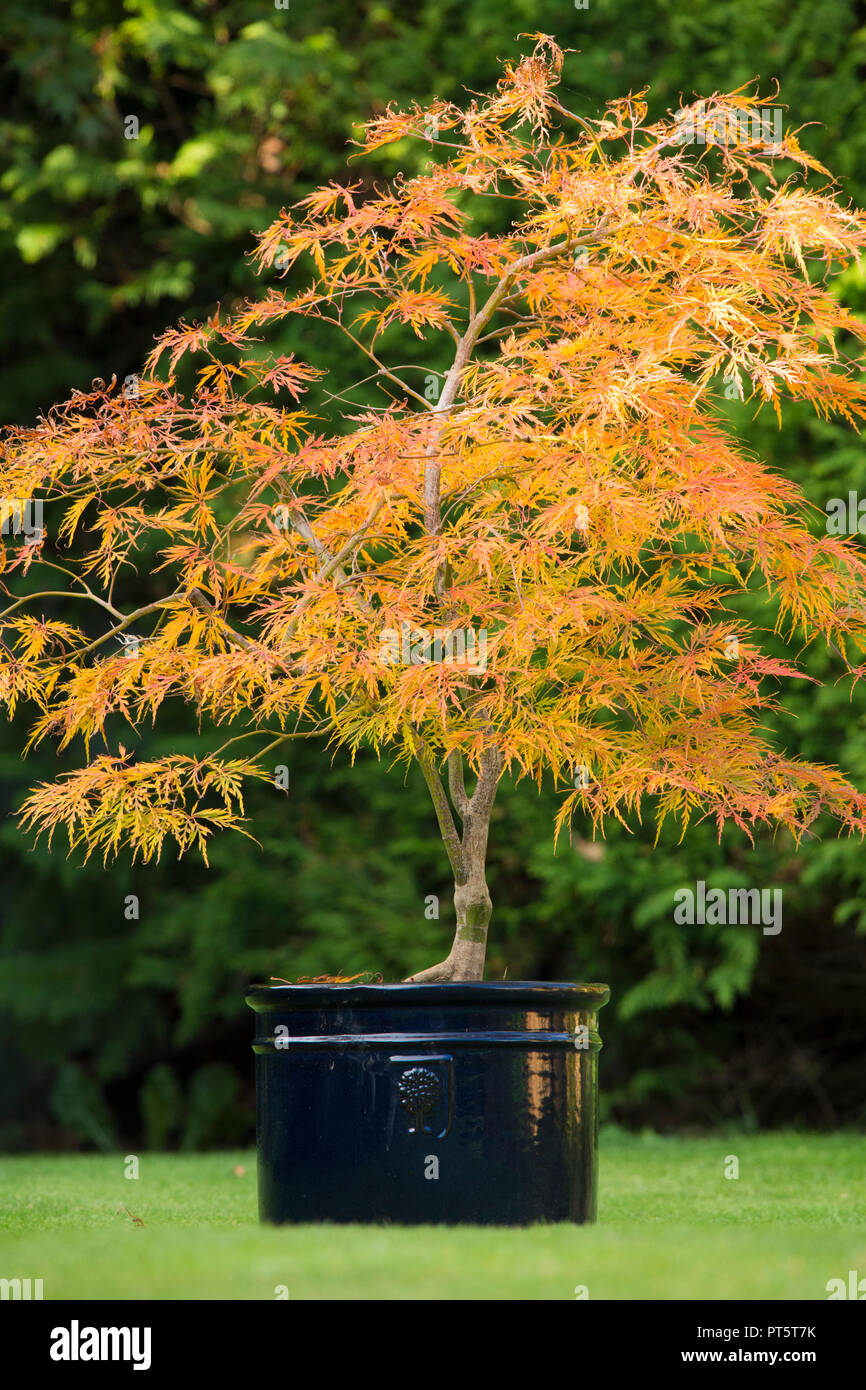 Acer Palmatum Var Dissectum Viridis In Pot Autumn Fall Uk