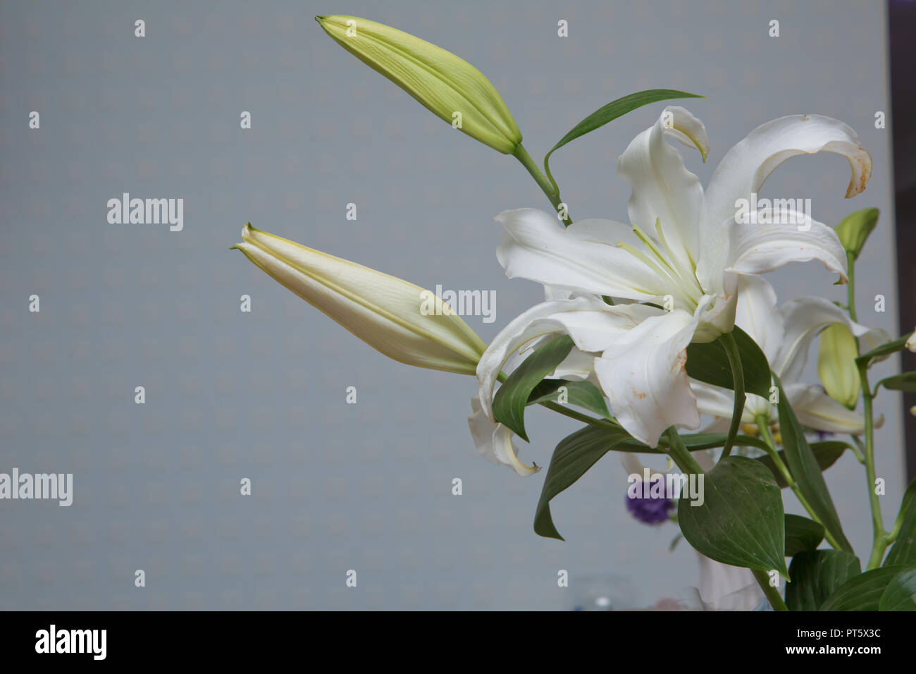 Beautiful white gentle tulips close-up on a white background. Elegant white double tulip with petals open. Closeup of flower head, isolated on white background, horizontal, copy space. - Stock Image