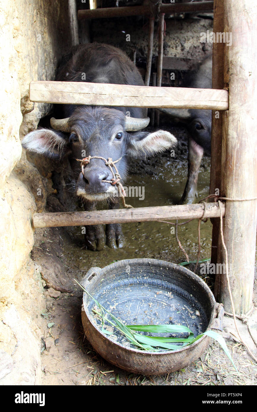 Hungry water buffalo in front of an empty bowl - Stock Image
