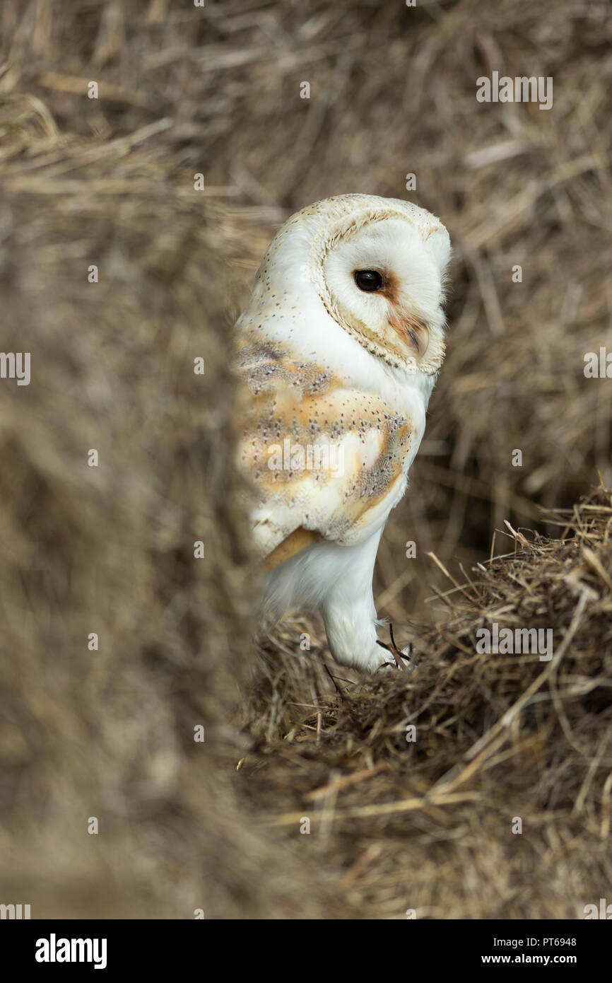 Barn owl Tyto alba (captive), adult male, hunting in hay bales, Hawk Conservancy Trust, Andover, Hampshire, UK, September - Stock Image