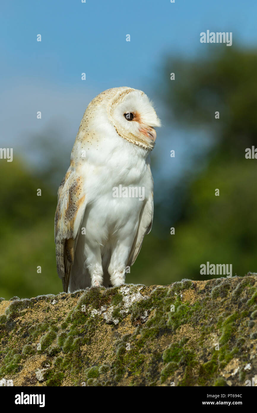 Barn owl Tyto alba (captive), adult male, perched on mossy roof tile, Hawk Conservancy Trust, Andover, Hampshire, UK, September - Stock Image