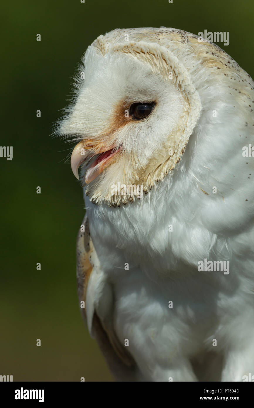 Barn owl Tyto alba (captive), adult male, portrait, Hawk Conservancy Trust, Andover, Hampshire, UK, September - Stock Image
