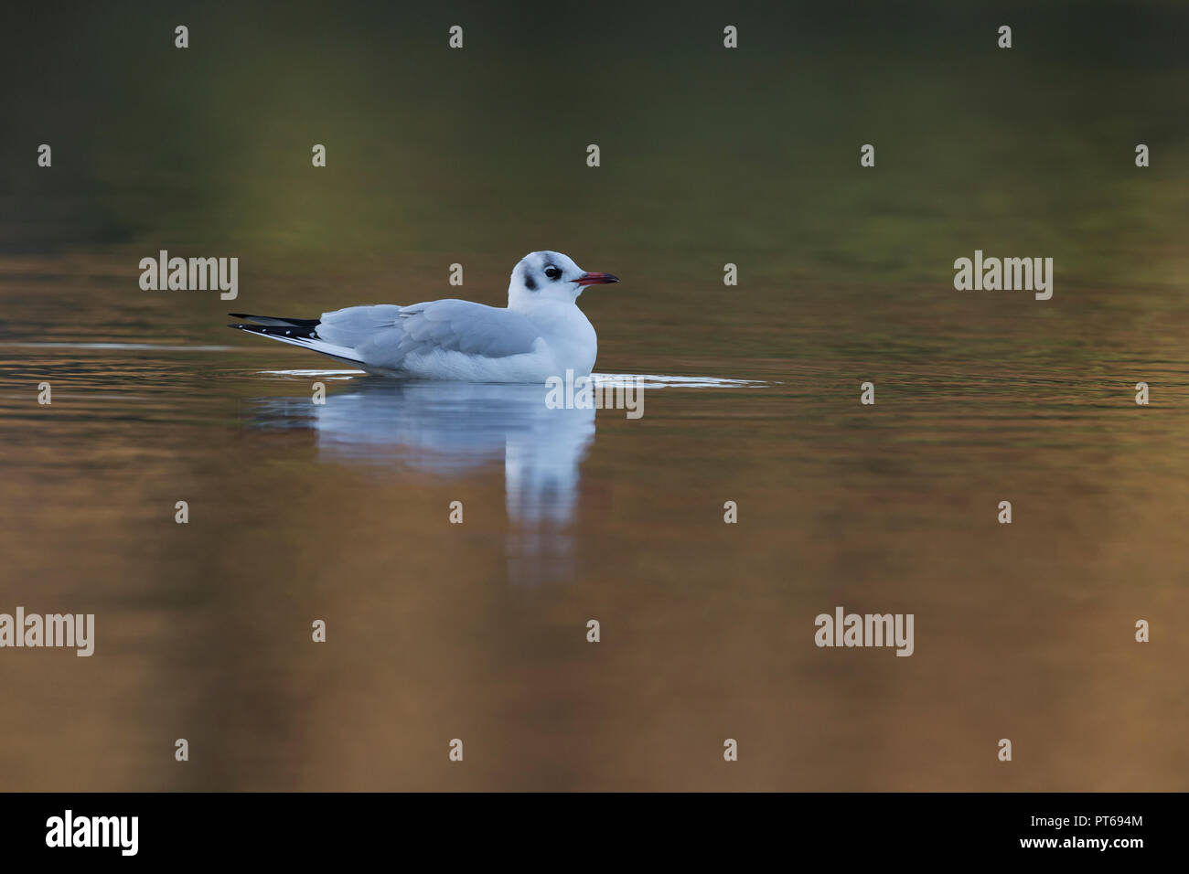 Black-headed gull Chroicocephalus ridibundus, winter adult, swimming on pond, Bradgate Park, Leicestershire, UK, December Stock Photo