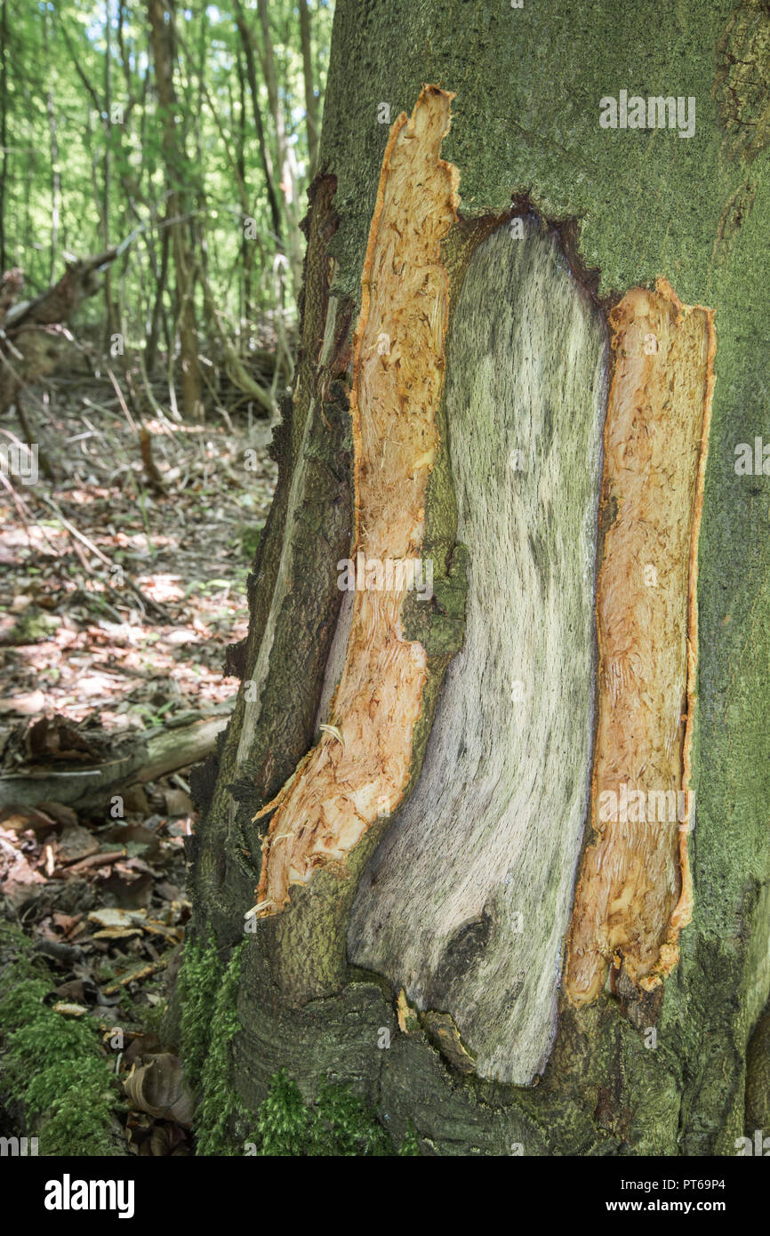 European badger Meles meles, bark stripping evidence on a European beech, Homefield Wood, Buckinghamshire, UK, June - Stock Image