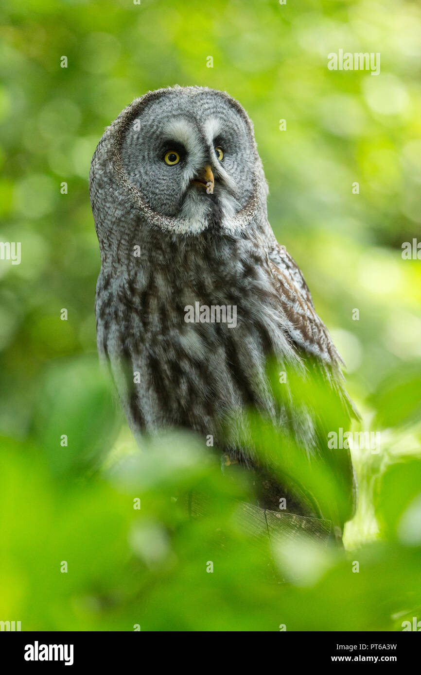 Great grey owl Strix nebulosa (captive), adult male, profile, Hawk Conservancy Trust, Andover, UK, September - Stock Image