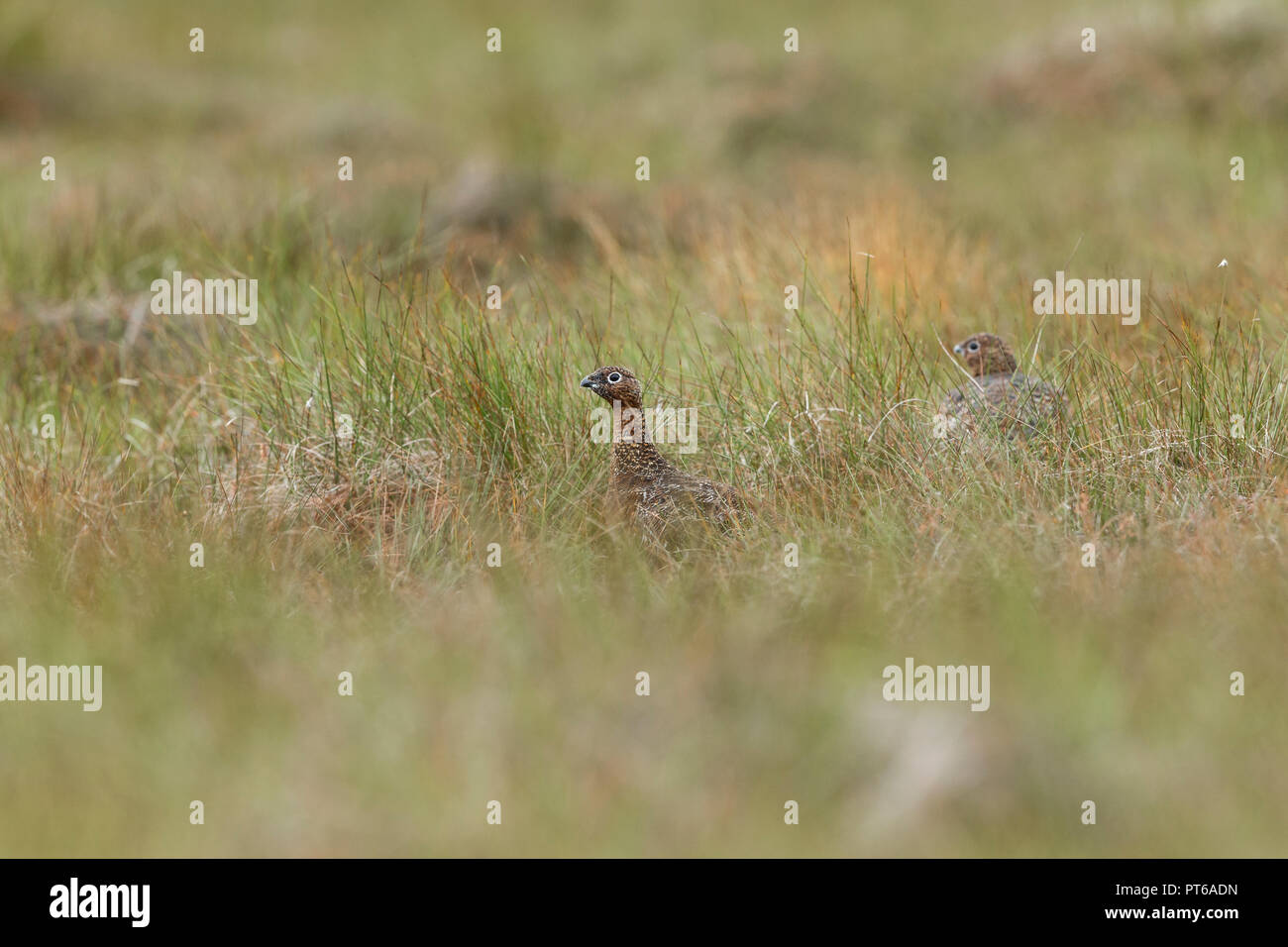 Red grouse Lagopus lagopus scotica, two females, on alert on moorland, Glen Kyllachy, Highlands, Scotland, September - Stock Image