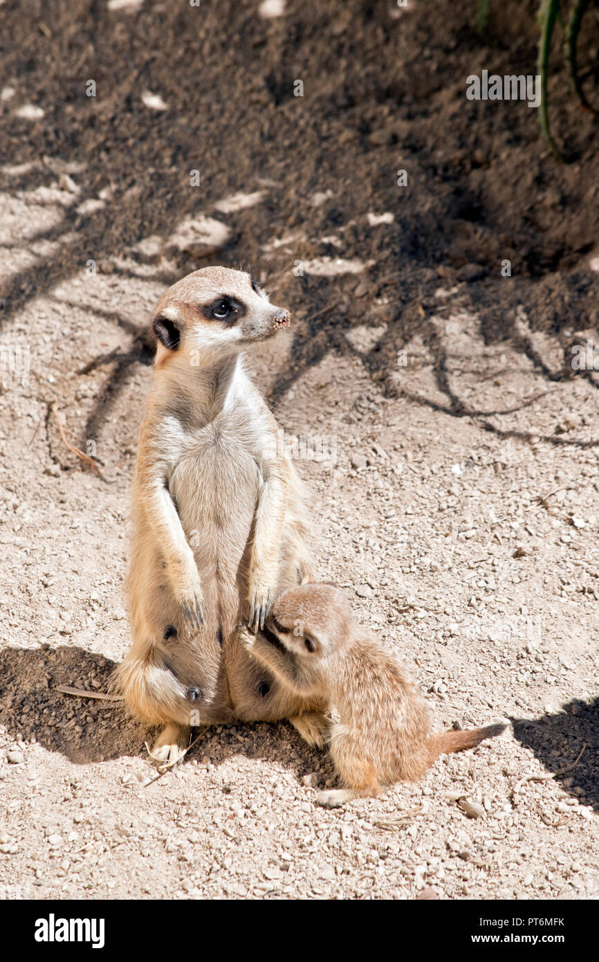 the meerkat is nursing one of her babies - Stock Image