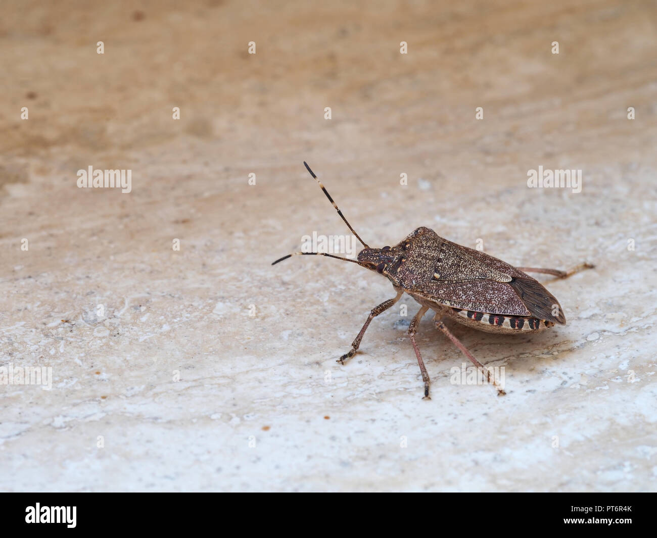 Brown marmorated stink bug Halyomorpha halys, an invasive species from Asia. On plain background with copyspace. Stock Photo