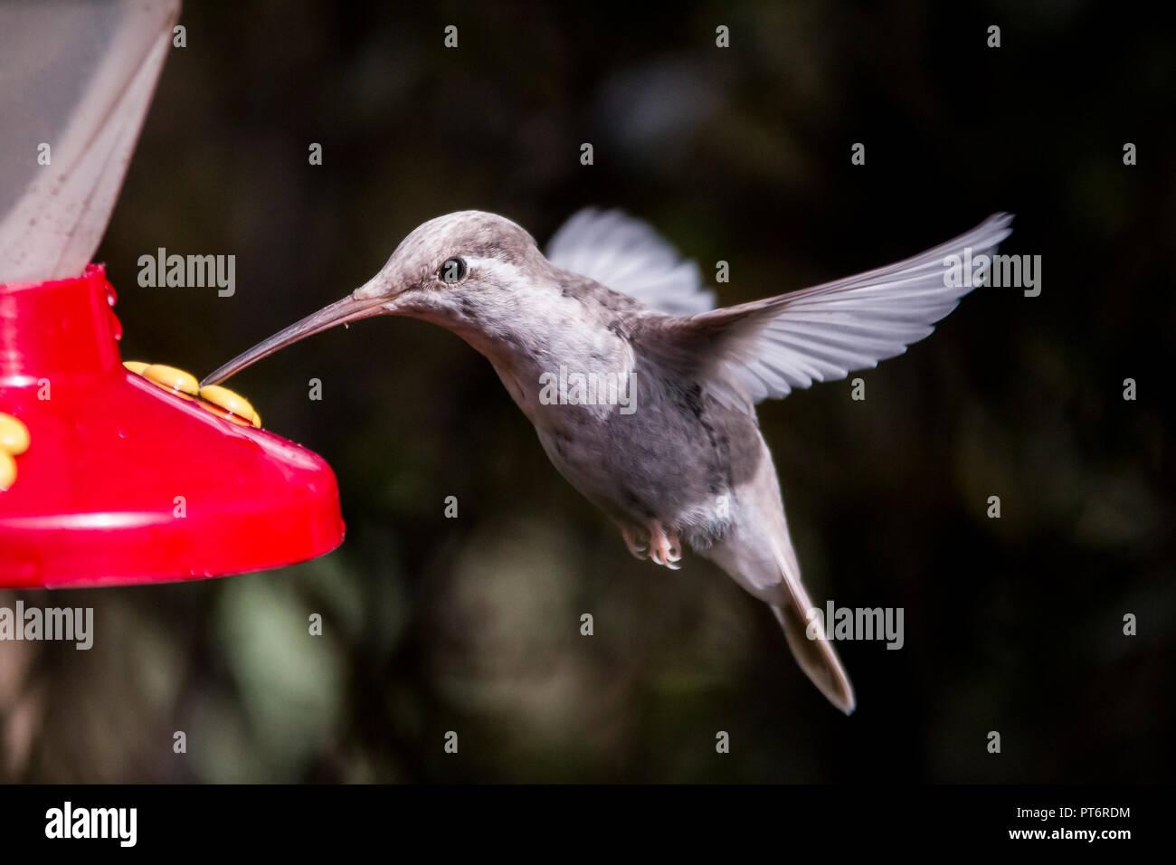 Rare white Leucistic Magnificent Hummingbird (Eugenes spectabilis). San Gerado de Dota, Los Quetzales National Park, Costa Rica Stock Photo