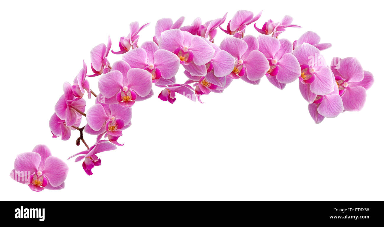 Phalaenopsis Blume, or moth orchids, abbreviated Phal in the horticultural trade, is an orchid genus of approximately 60 species. - Stock Image