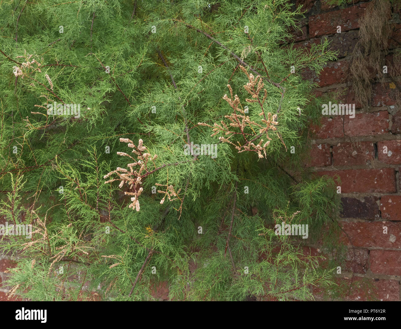 Form of Tamarisk - possibly Tamarix gallica - in flower and growing in Newquay, Cornwall. Parts of Tamarisk used as medicinal plant in herbal remedies - Stock Image