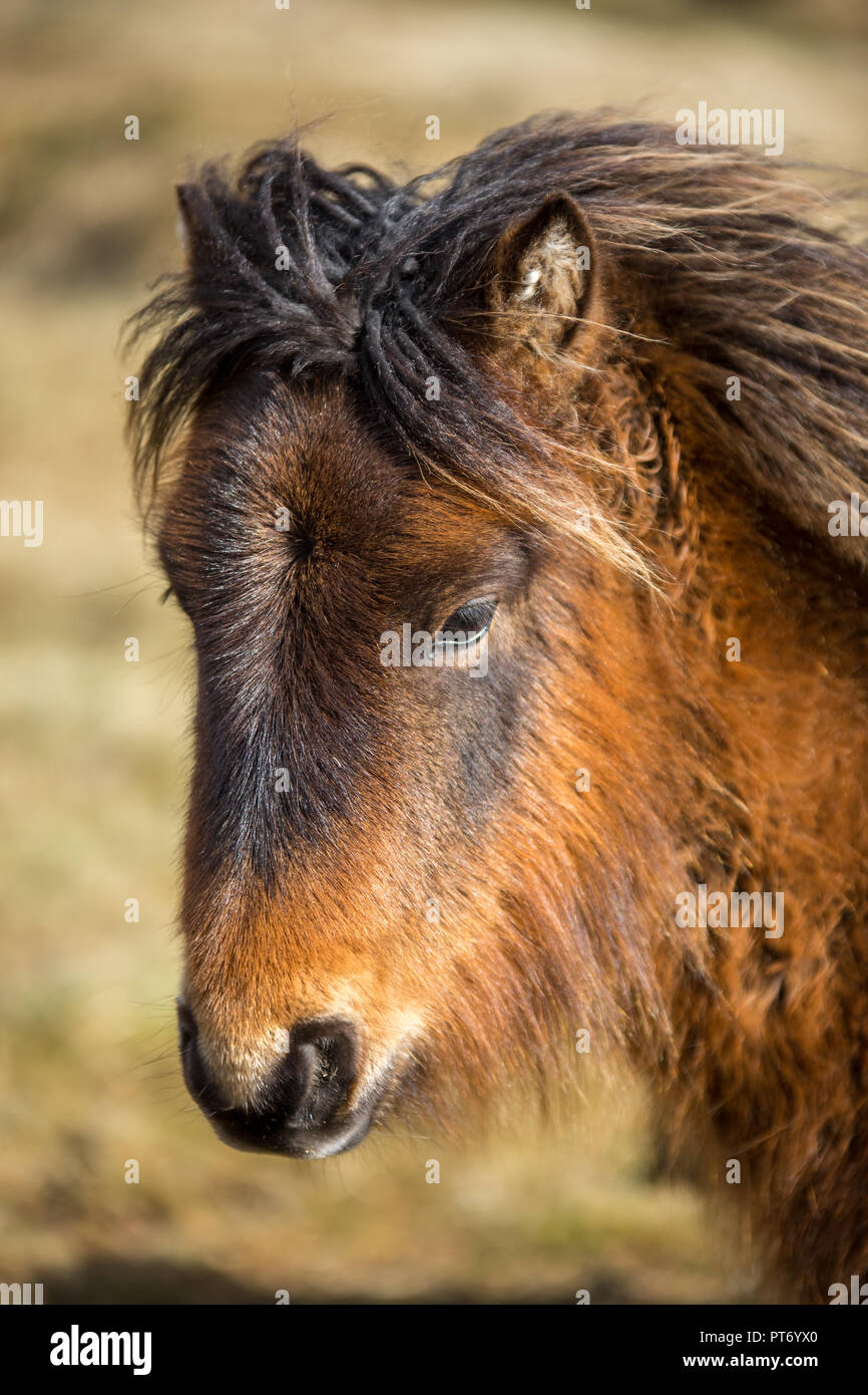 Rustic coloured wid pony on Bodmin Moor, Cornwall - Stock Image
