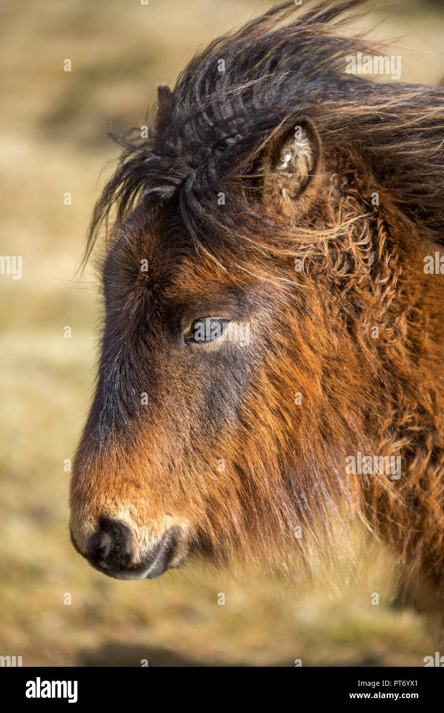 Affectionate Wild Pony on Bodmin Moor, Cornwall - Stock Image