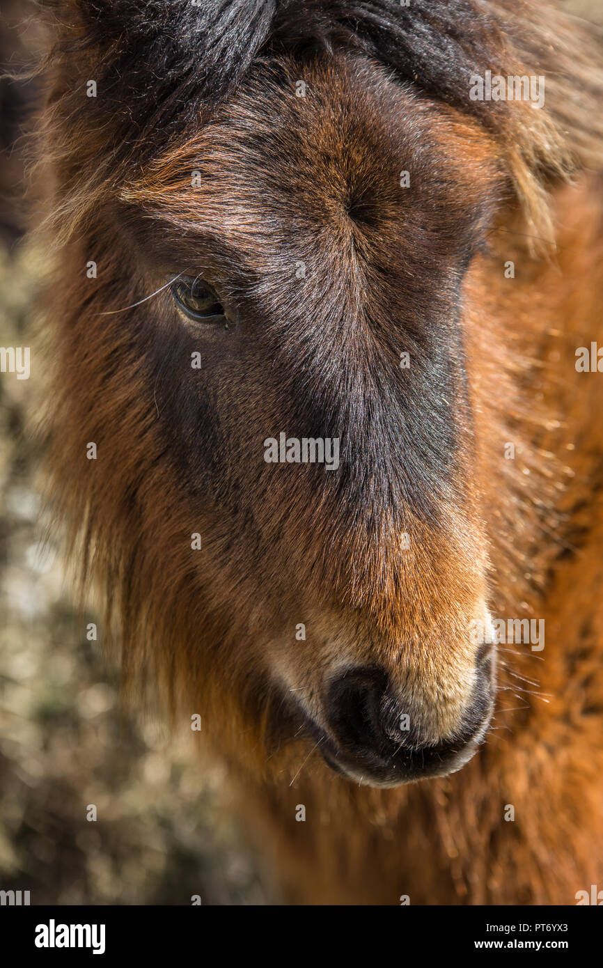 Placid young Wild Pony on Bodmin Moor, Cornwall - Stock Image