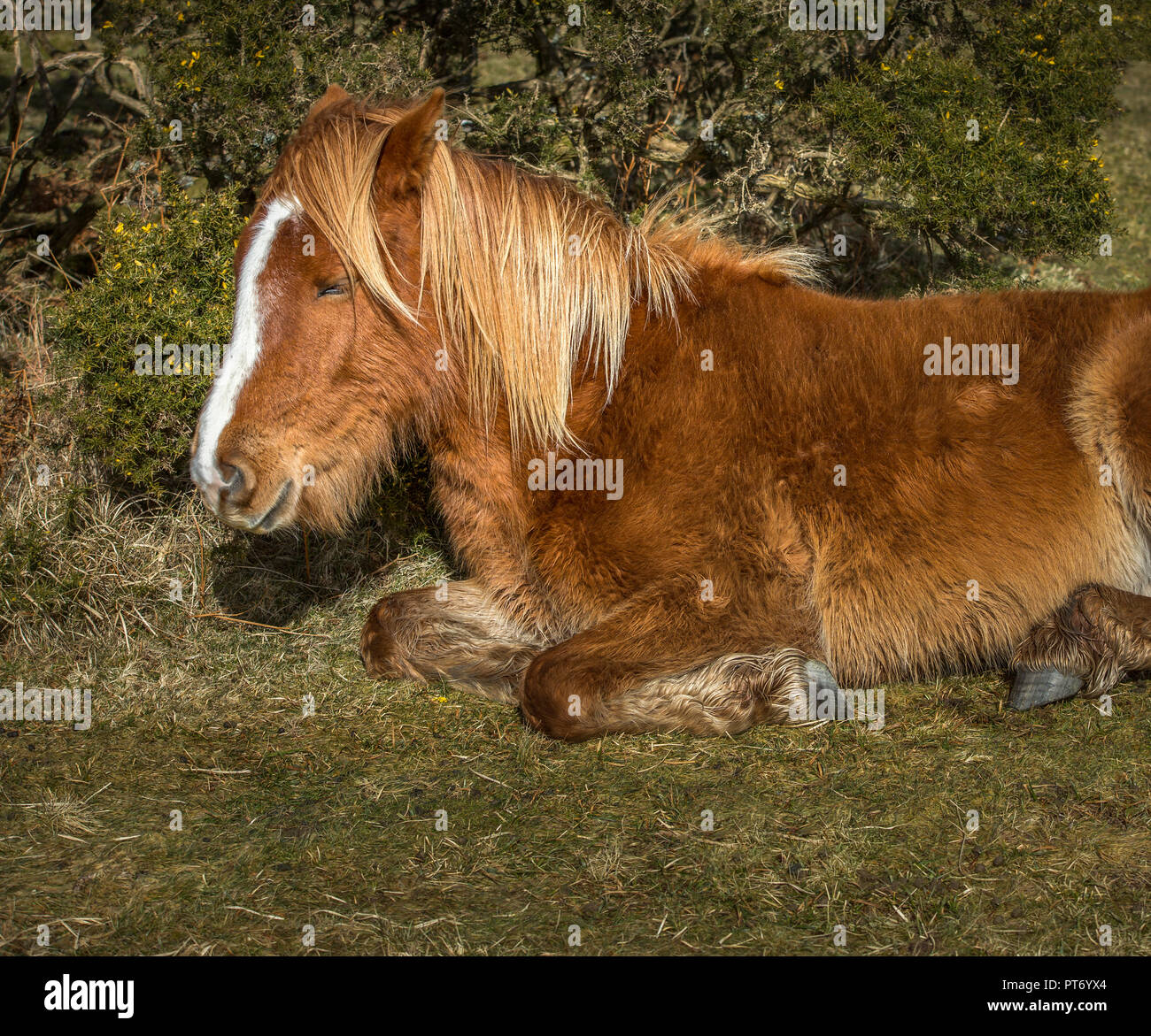 Young Wild Pony Snoozing, Bodmin Moor, Cornwall - Stock Image