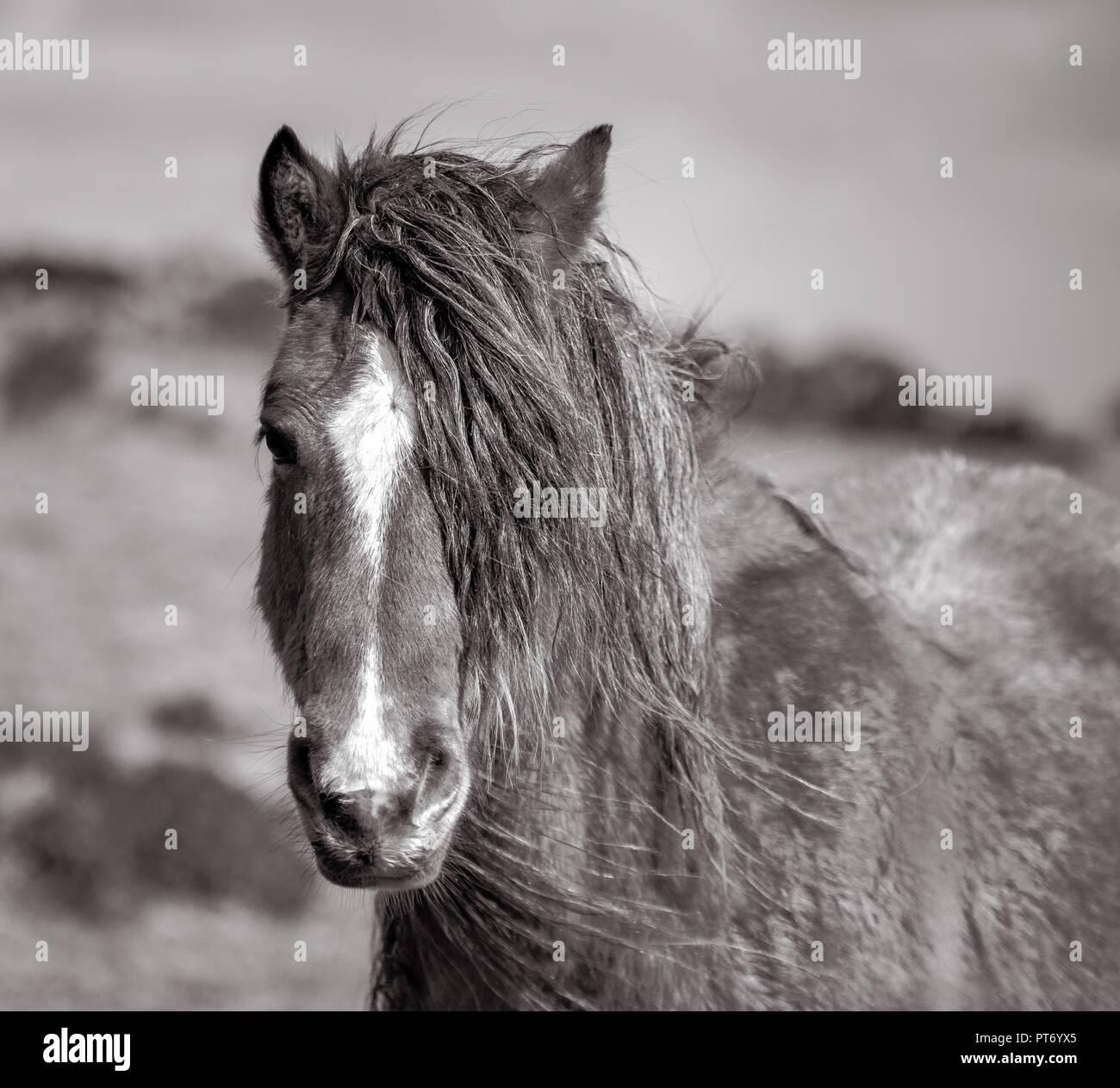 Long Maned Wild Pony, Bodmin Moor, Cornwall - Stock Image