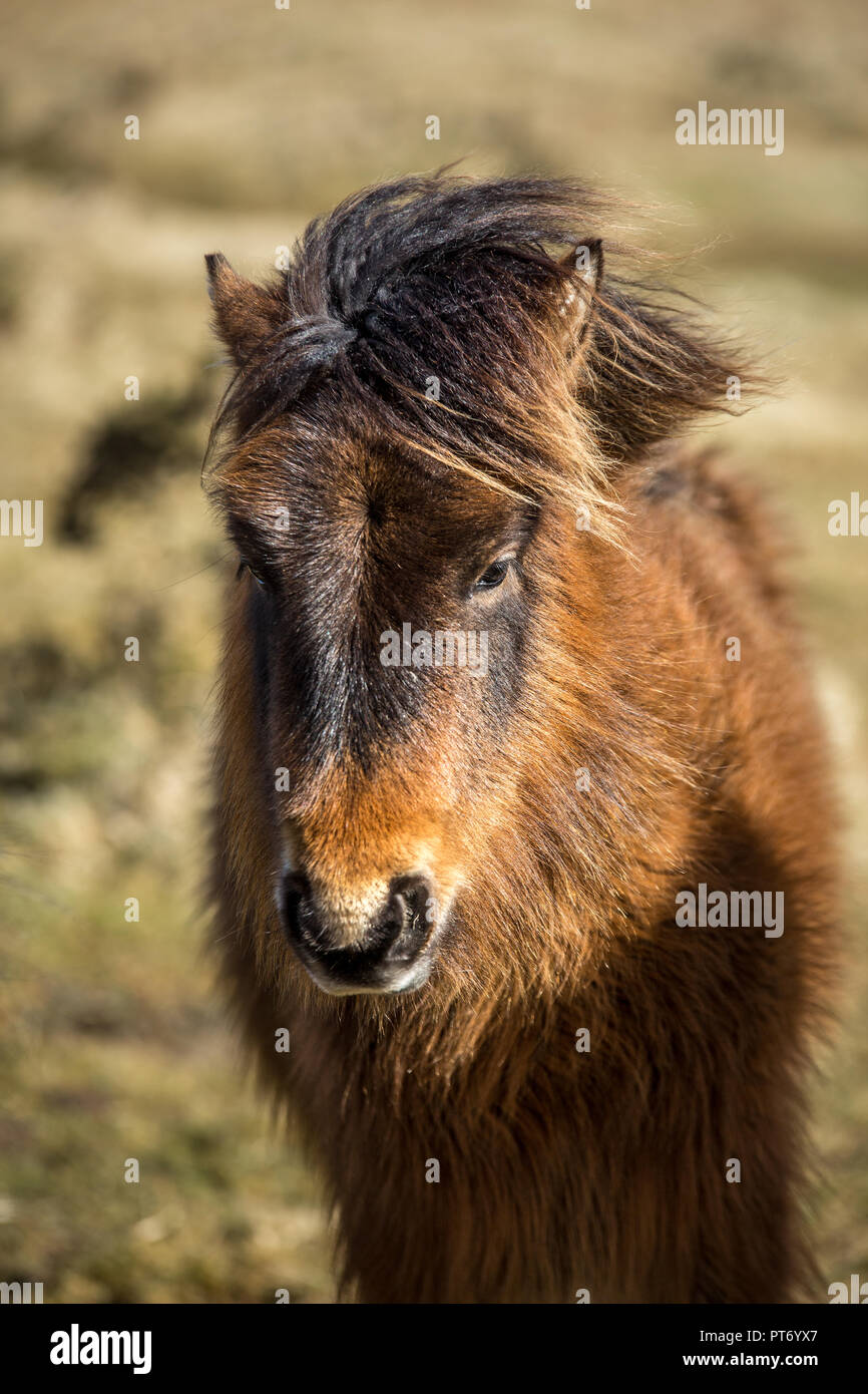 Warm Light on Wild Pony, Bodmin Moor, Cornwall - Stock Image