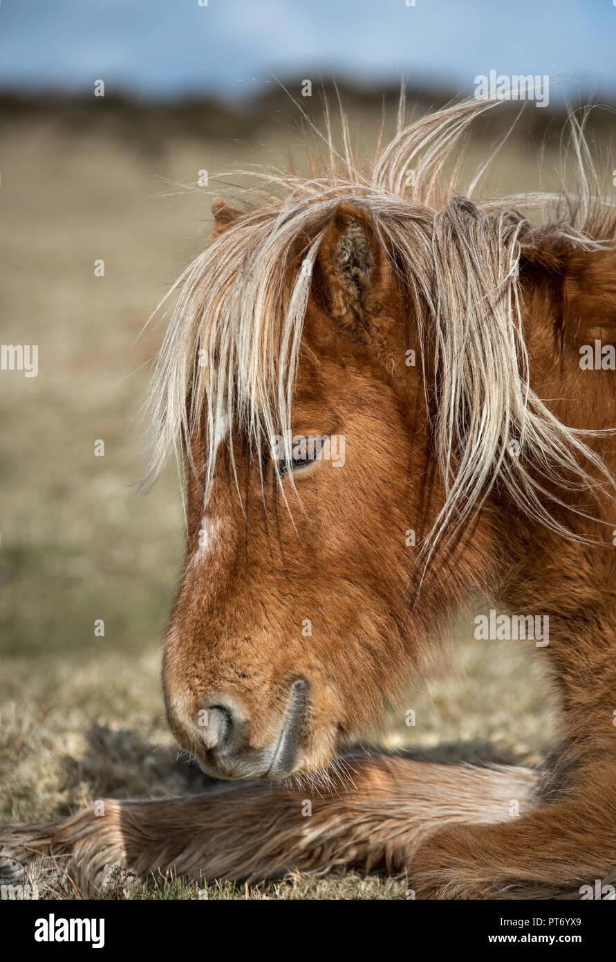 Sun-kissed Moorland Pony, Bodmin Moor, Cornwall - Stock Image