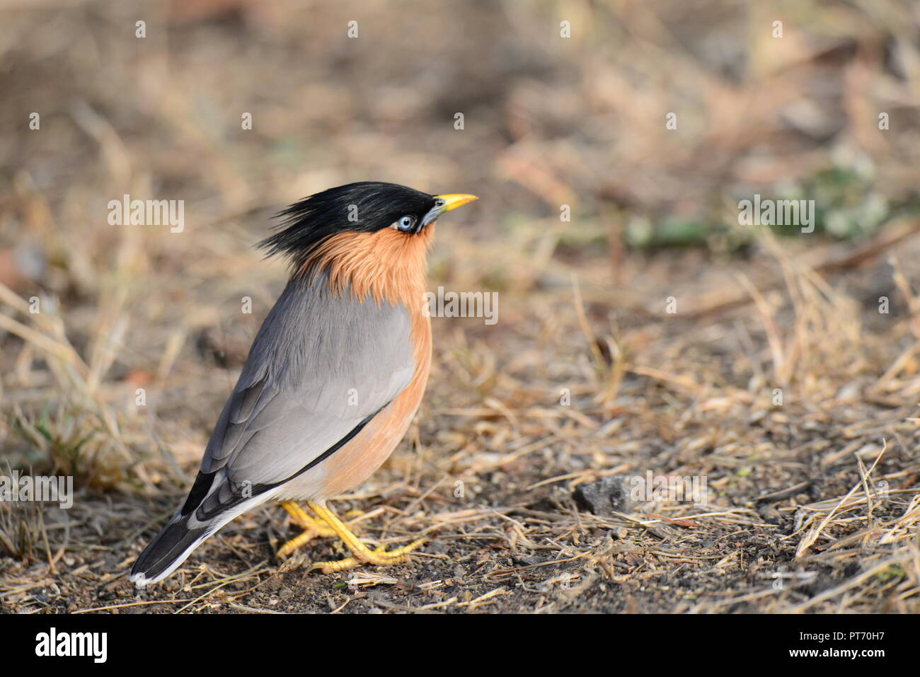 Brahminy Starling in attention pose - Stock Image