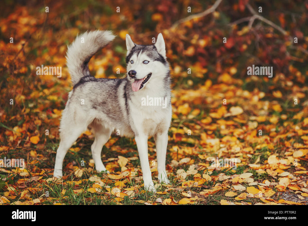 Siberian Husky Dog With Blue Eyes Stands And Looks Autumn Forest