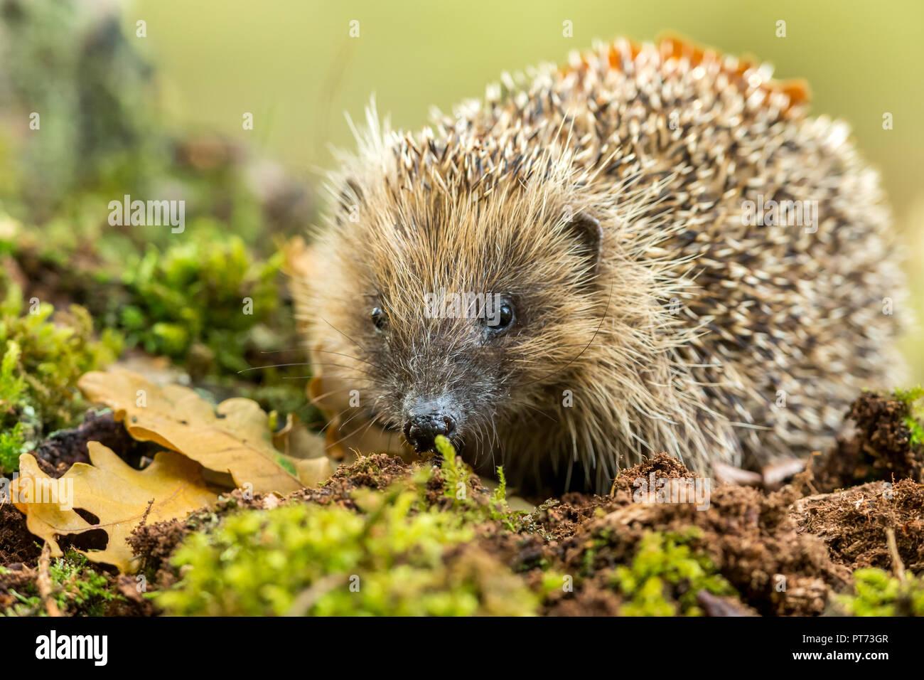 Hedgehog, wild, native, European hedgehog in natural woodland habitat during Autumn or Fall.  Scientific name: Erinaceus Europaeus. Horizontal. - Stock Image