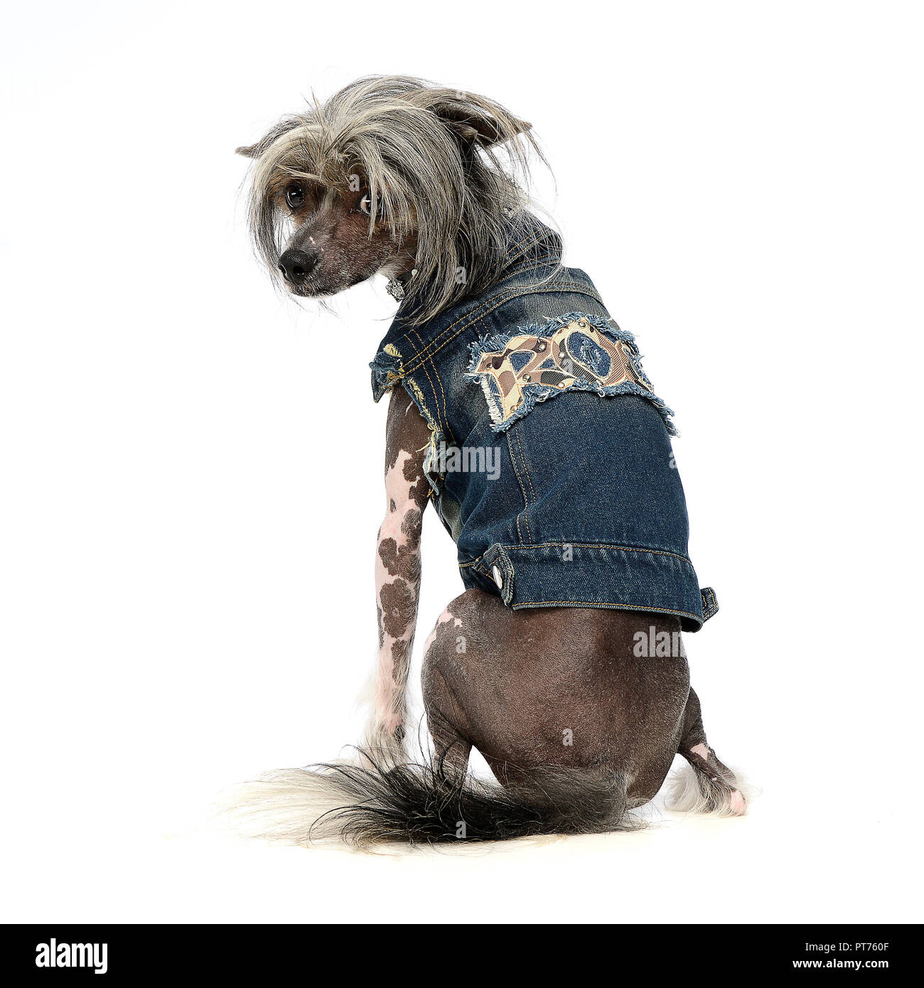 Chinese crested dog in a white background photo studio - Stock Image