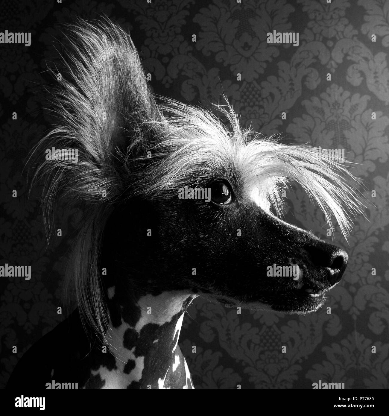 Chinese crested dog head portrait indor - Stock Image