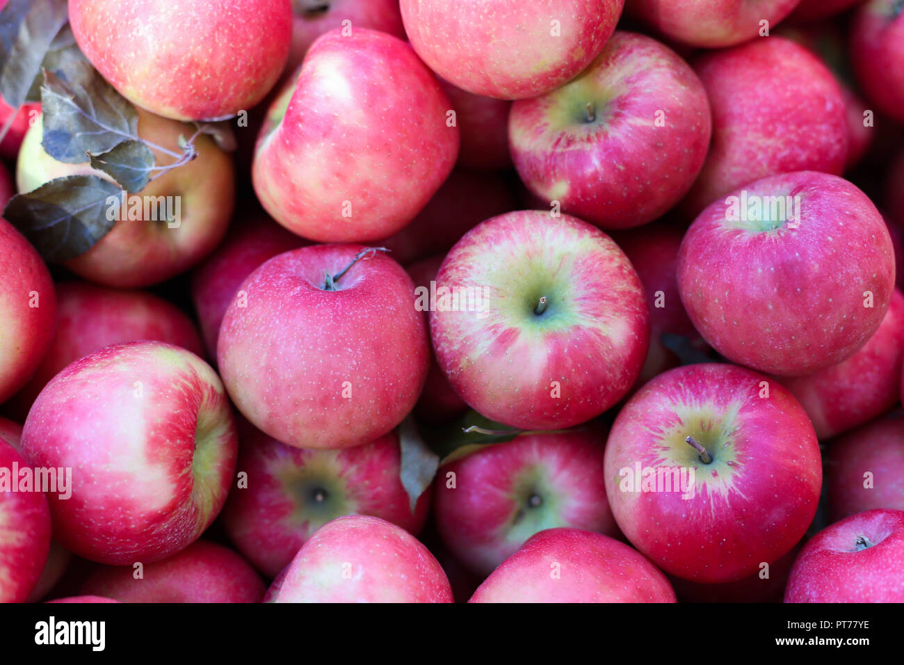 Honey crisp red apples fruit background healthy food fresh market ff from up - Stock Image