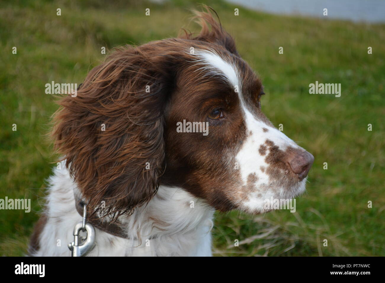 Close up of liver and white English springer spaniels head sitting on grass looking away from the camera into the distance re pets sitting obedience - Stock Image