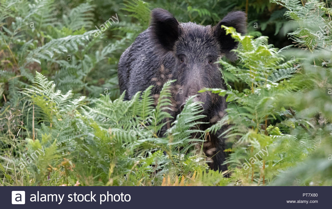 A Wild Boar roam deep in the beautiful Royal Forest of Dean Stock Photo