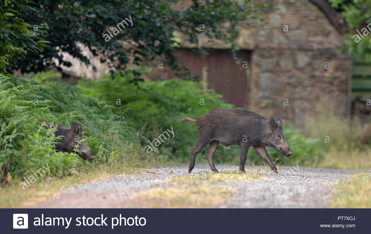 A Wild Boar roam deep in the beautiful Royal Forest of Dean - Stock Image